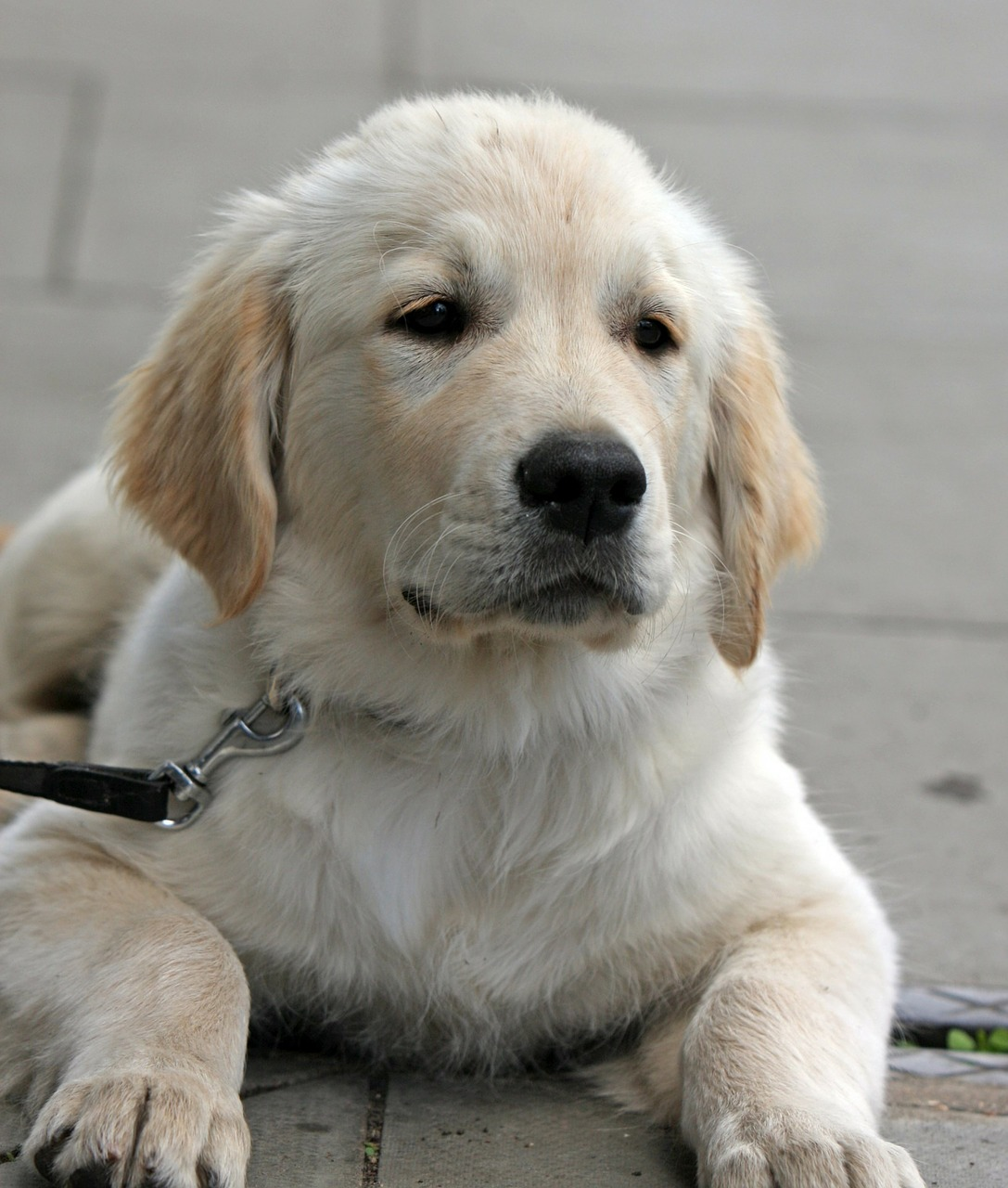 training a golden retriever golden retreiver archives dogs are great companions 6525
