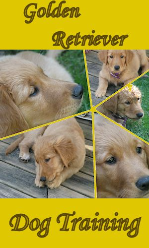 training a golden retriever dogs are great companions dogs are great companions 139